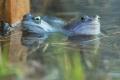 żaby_011
