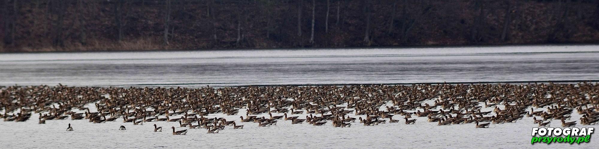 gęsi na jeziorze Olecko Wielkie