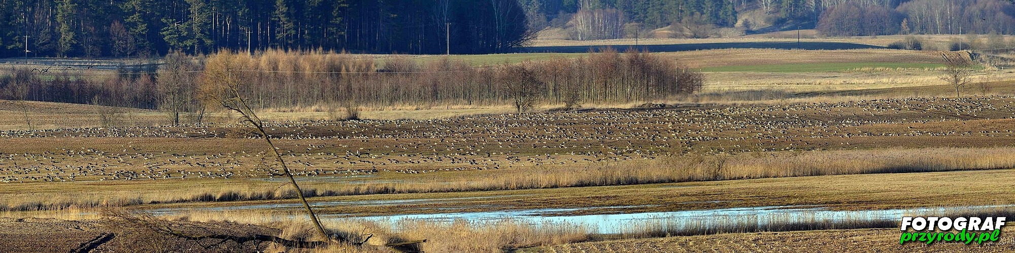 gęsie na polach koło Olecka